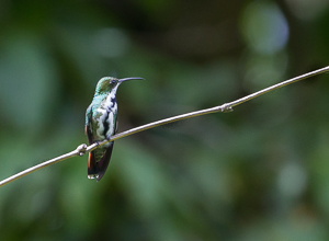 A Black-throated Mango Hummingbird - Female