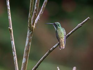 White-chested Emerald, Asa Wright Nature Center, Trinidad